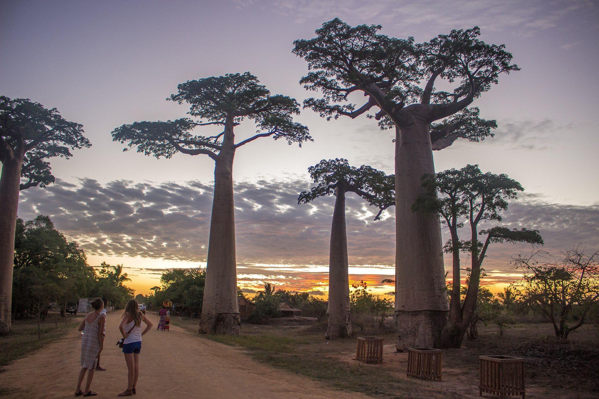 Baobab couché du soleil